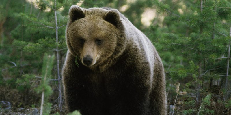 Een-bruine-beer-op-de-uitkijk-in-Zweden