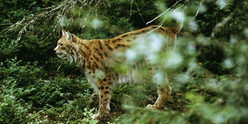 Spot-een-lynx-tijdens-een-wildlife-safari-in-Zweden