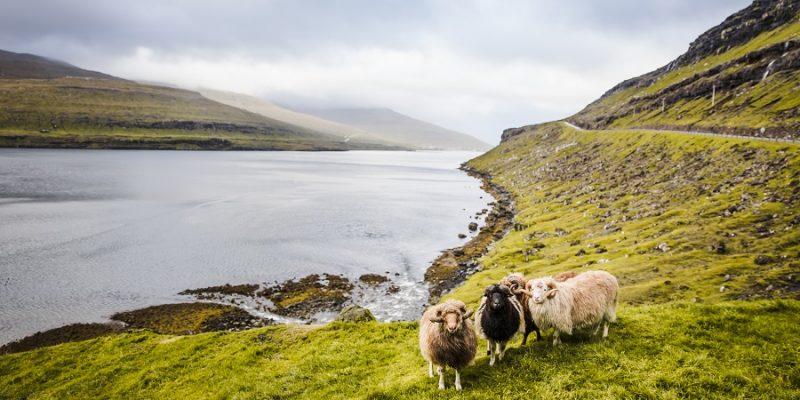 Faeroer-schapen-in-het-groen