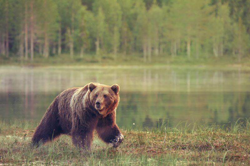 Een bruine beer wandelt langs het meer