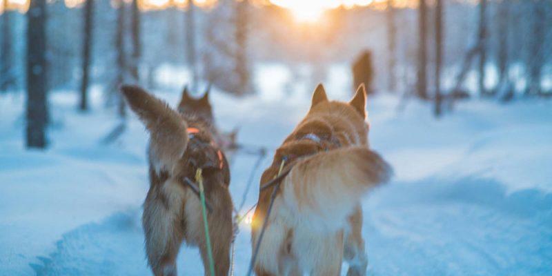 Huskytocht in Lapland