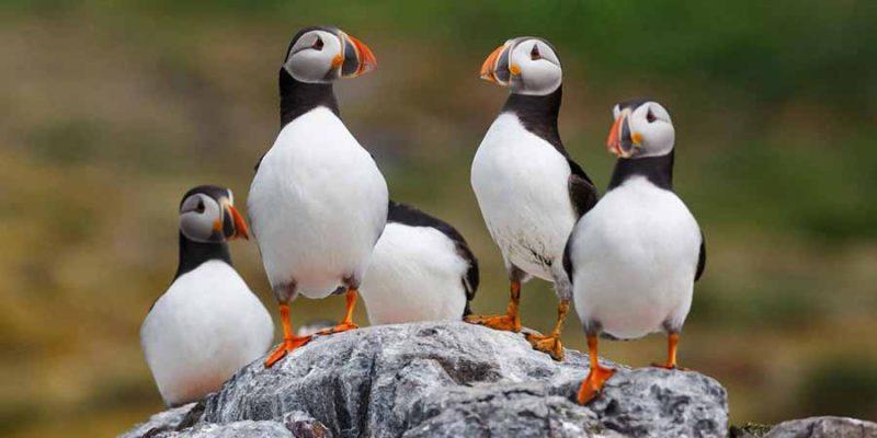 IJsland-papegaaiduikers-op-de-kliffen