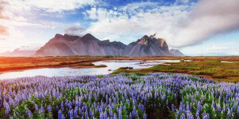 IJsland-wilde-lupines-aan-de-voet-van-Vestrahorn--Nordic