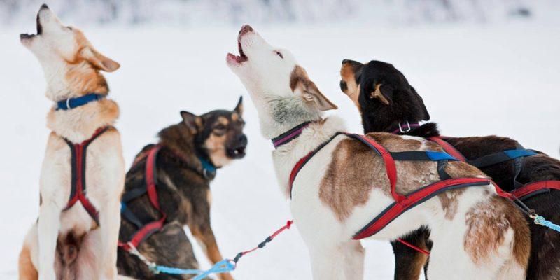 Husky wandeling in Lapland