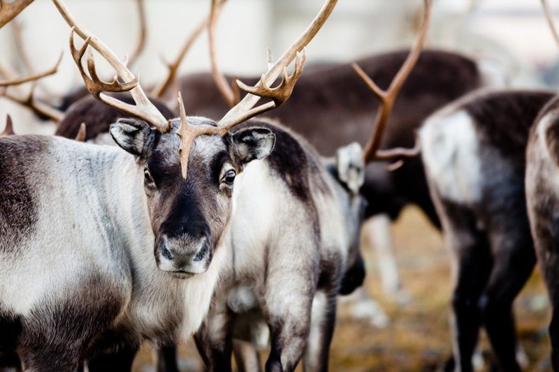 Rendieren-in-Lapland