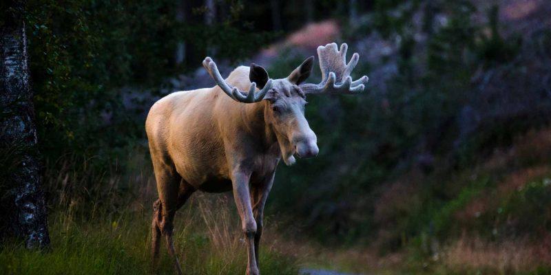 Spot-een-eland-in-Zweden
