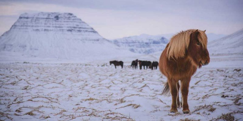 Zuid IJsland winterpaard