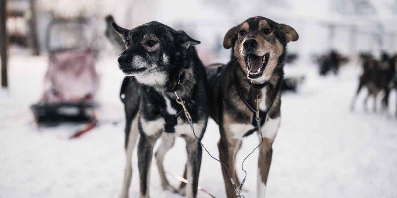 Husky-klaar-om-te-vertrekken-Lapland