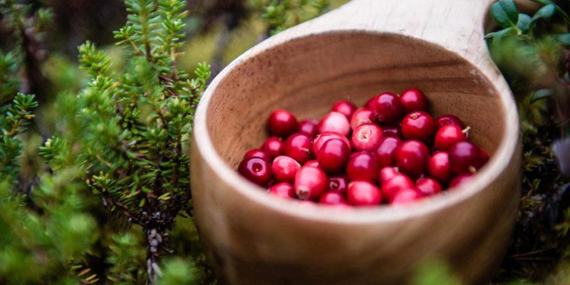 Bessen-plukken-in-Lapland_┬®Ted_Logart_imagebanks.sweden.se_-12