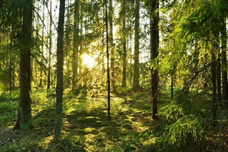 Zonnig bos in Zweden met Nordic