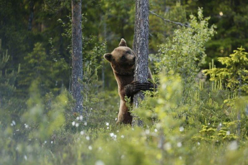 Beren-spotten-met-het-hele-gezin-naar-Zweden-met-Nordic-©Hakan-Vargas-800x533