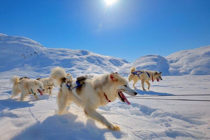 Huskyhonden-in-de-sneeuw-in-Groenland-met-Nordic