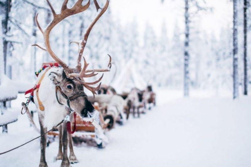 Rendieren-naar-Winters-Lapland-met-Nordic-800x533