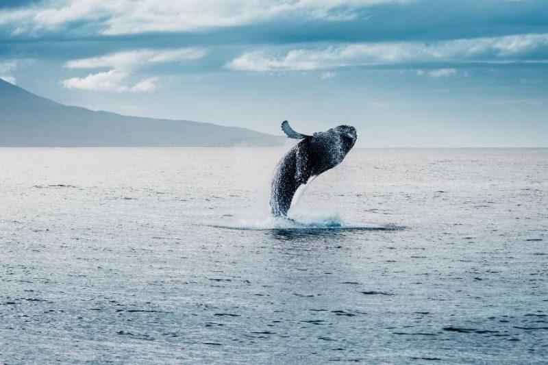 Walvissen-spotten-op-IJsland-op-exploratiereis-met-Nordic