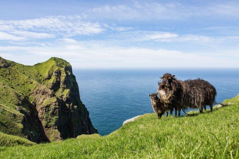 Faeröer eilanden schapen