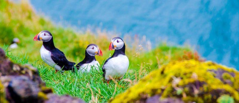 Papegaaiduikers op IJsland