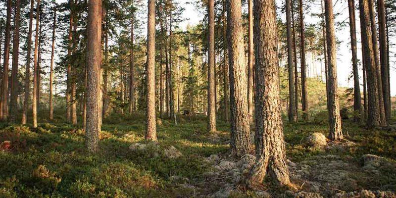 Bossen in Zweden - Naar Zweden met Nordic - ©Stilleben